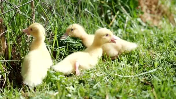 Tři malé načechrané kachničky venku ve 4K VIDEO. Žlutí ptáčci na jarní zelené trávě objevují život. Ekologické zemědělství, práva zvířat, zpět do přírody.