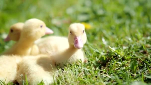 Három kis bolyhos kiskacsa kint a 4K VIDEO-ban. Sárga kiskacsa madarak tavasszal zöld fű felfedezi az életet. biogazdálkodás, állatjogok, vissza a természethez.