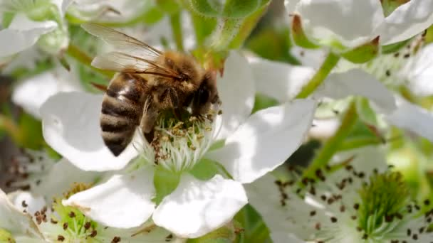 Honey bee (Apis mellifera)collecting pollen from blooming white flowers of blackberry plant in the garden in 4K VIDEO. Close-up macro.