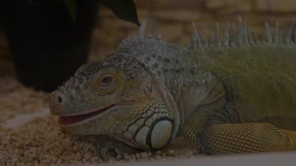 Zavřít zelené Iguana v akváriu při pohledu na stranu. Roztomilé malé děti Sledovat zvířata Bavte se Strávit čas na kontaktní Zoo. Happy Family Visit Feeding Wild a domácí mazlíčci na domácí farmě. Koncept přírody