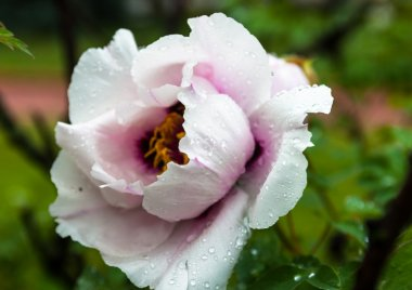 Pale pink peony flower with drops of dew