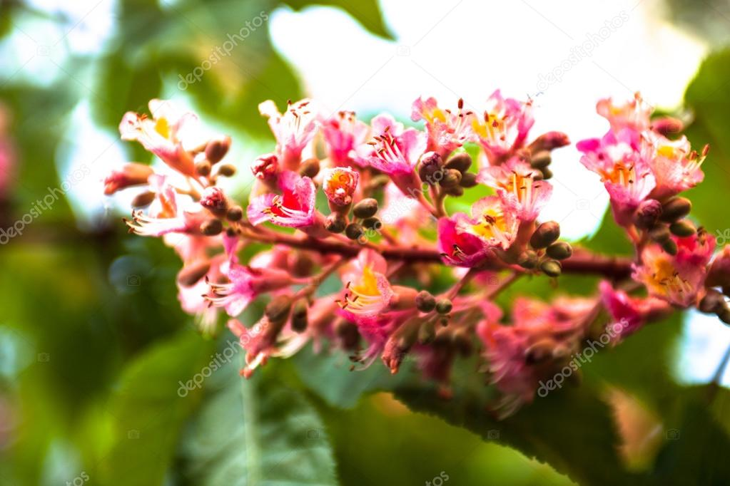 Bunch of pink flowers of the horse chestnut tree stock photo bunch of pink flowers of the horse chestnut tree photo by rootstocks mightylinksfo