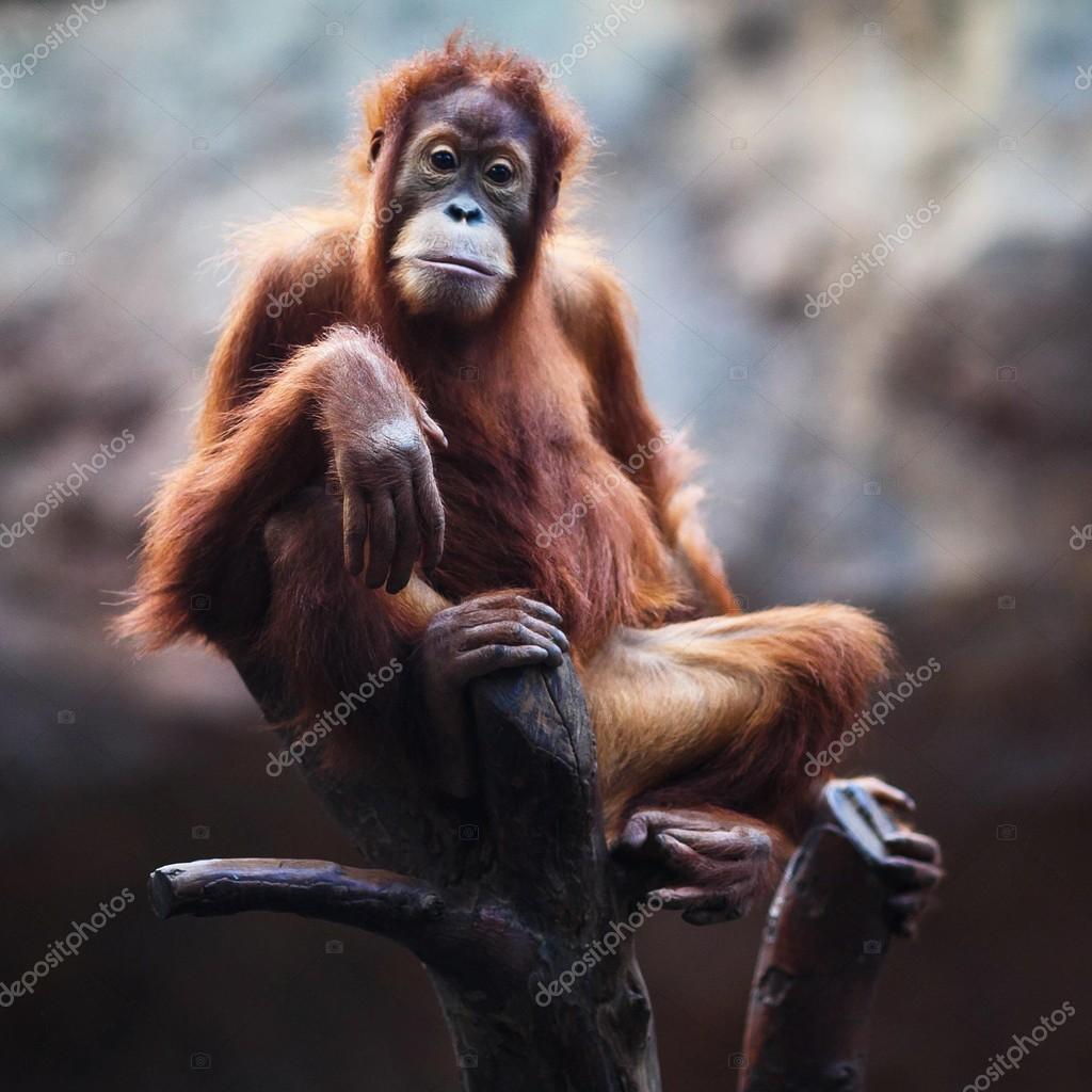 Portrait of female orangutan