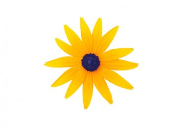 Rudbeckia fulgida blossom, isolated on white