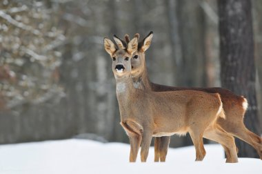 Two roe deer in winter time