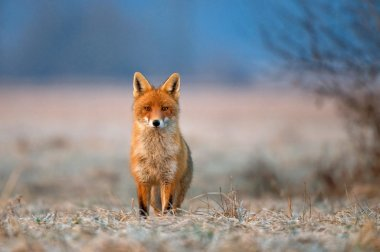 Photo of red fox on a freezing morning stock vector
