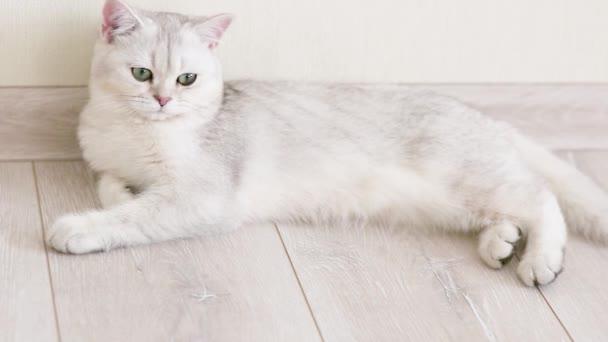 Luxusní bílá a šedá britská kočka leží na podlaze v lehkém interiéru