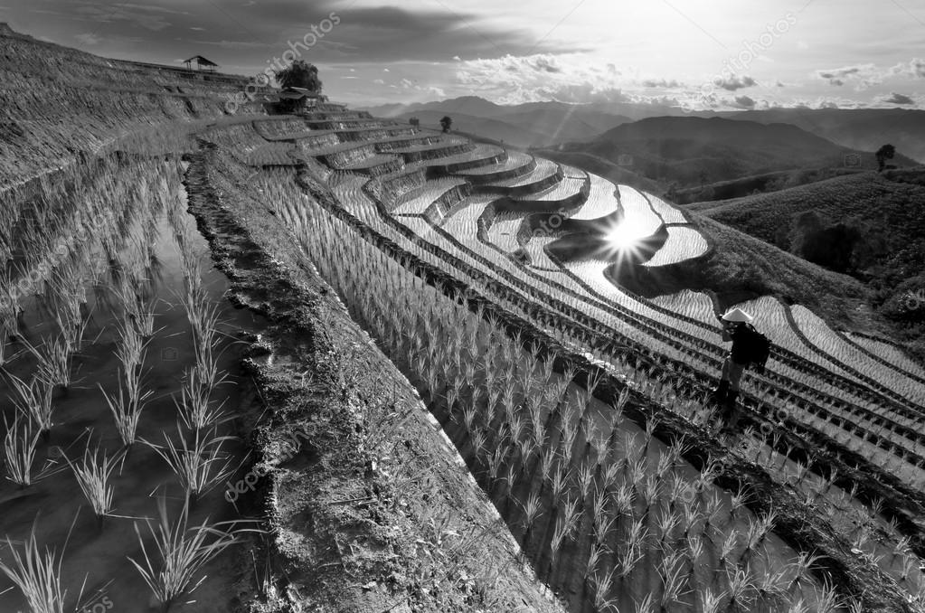 Rice fields on terraced at Chiang Mai, Thailand in black and whi