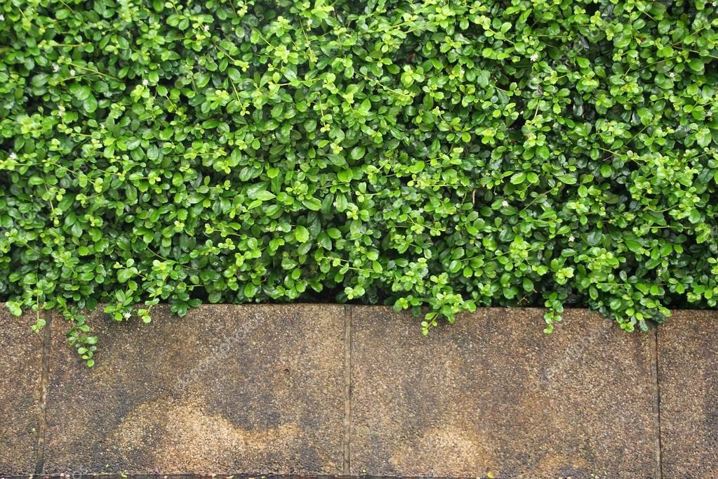 Frische Pflanzen-Wand für Hintergrund — Stockfoto © enrouteksm #56492879