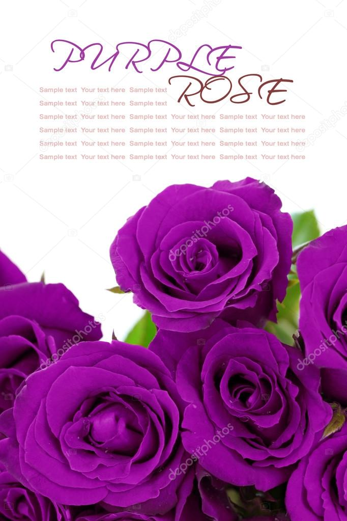 Purple roses bouquet with sample text on white background