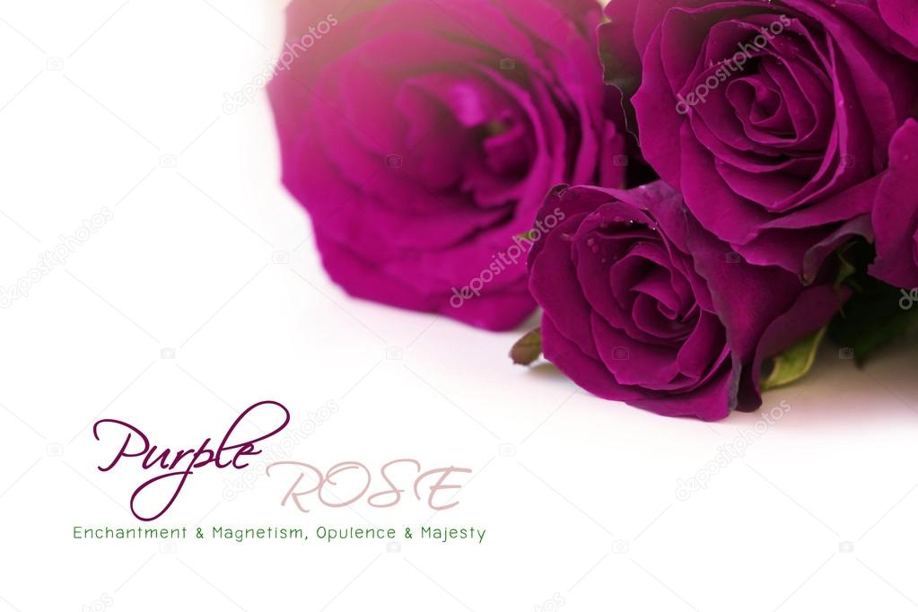 Dark purple roses bouquet with sample text on white background