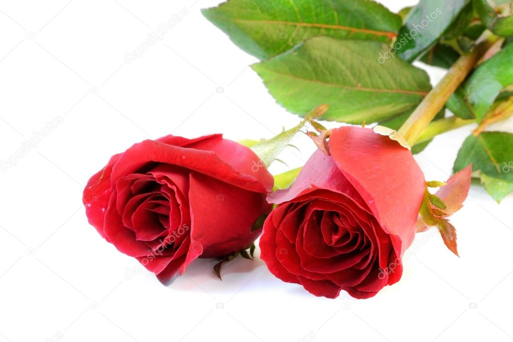 Two red roses on white background.
