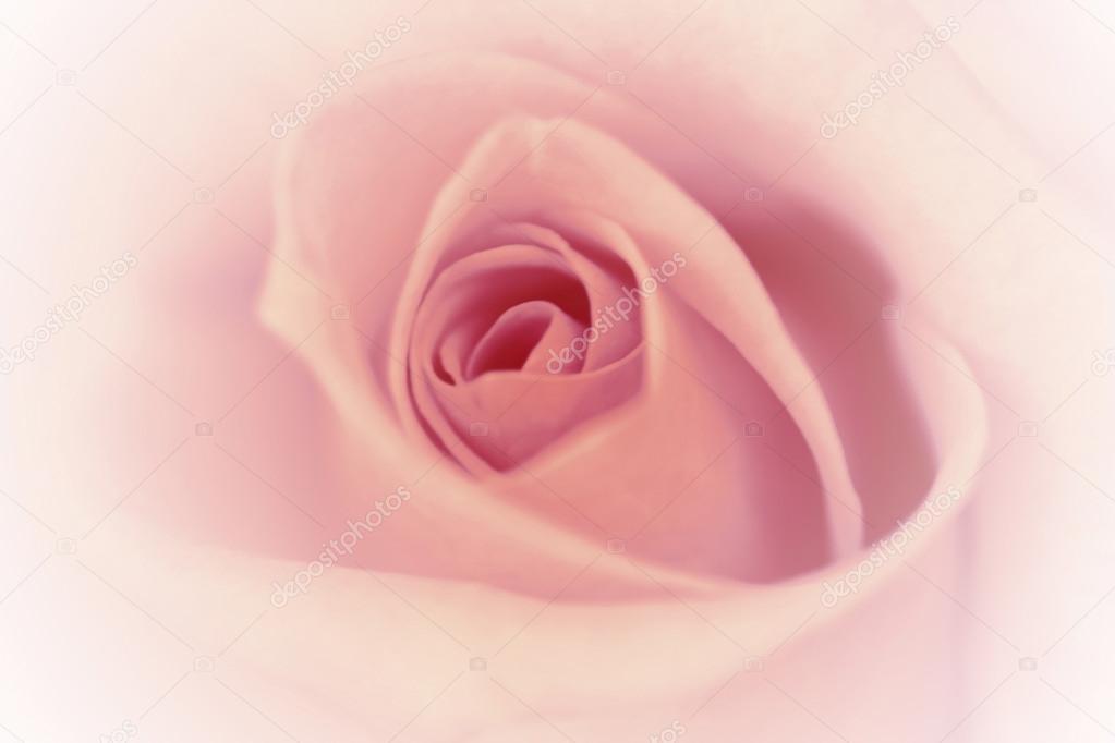 Vintage rose background with white gradient border. Soft focus,