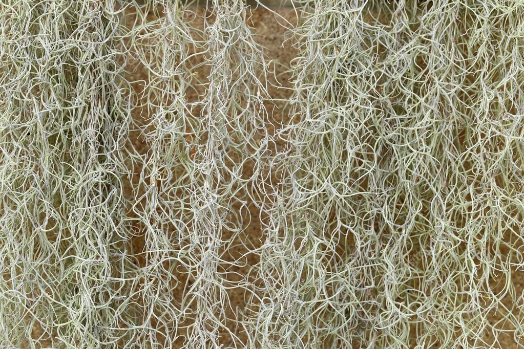 Muschio spagnolo o tillandsia usneoides pianta per sfondo for Tillandsia prezzo