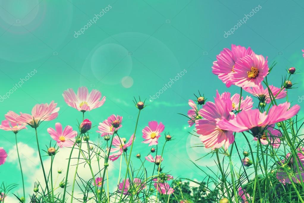 Retro cosmos flower fields background.