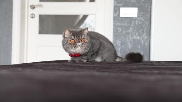 Macska nagy narancssárga szemekkel közelről nézi a kamerát. Macskaorr és száj közelkép. Brit macska.