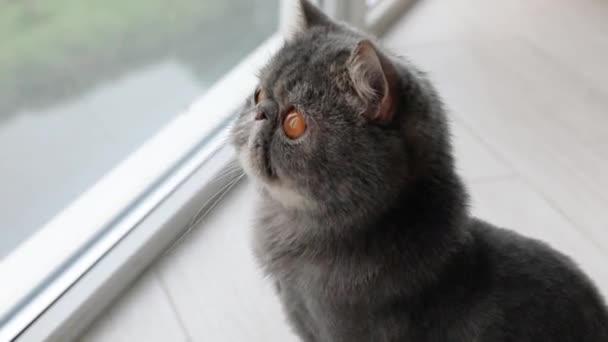 Cat With Big Orange Eyes Close-up Looking On The Camera. Kočky nos a ústa zblízka. British Cat.