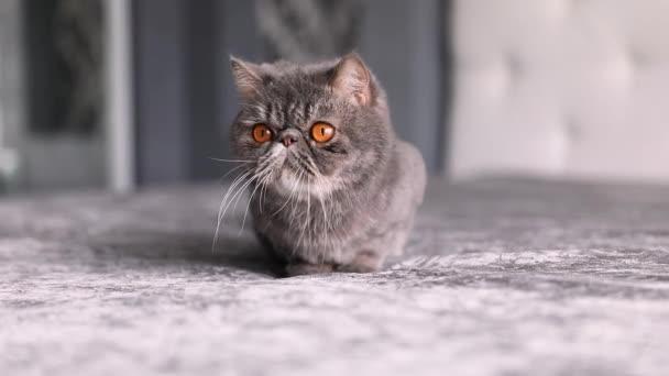 Britská krátkosrstá kočka na bílém pozadí. britská kočka izolovaná