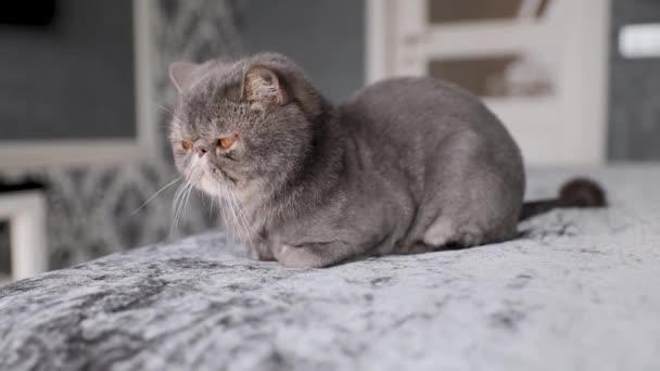 Britische Kurzhaarkatze auf weißem Hintergrund. britische Katze isoliert