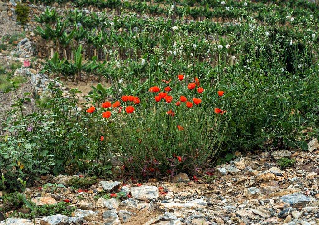 Poppy flowers growing along the road