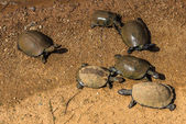 Turtles. South Africa, Pilanesberg national park.