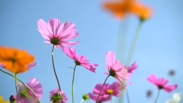 Kosmos květy travnatých porostů v dopoledních hodinách, příroda květina koncept