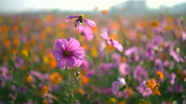Cosmos flowers of grassland in the morning, nature flower concept