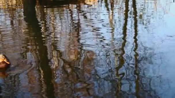 divoké kachny na jezeře.zpomalení videa
