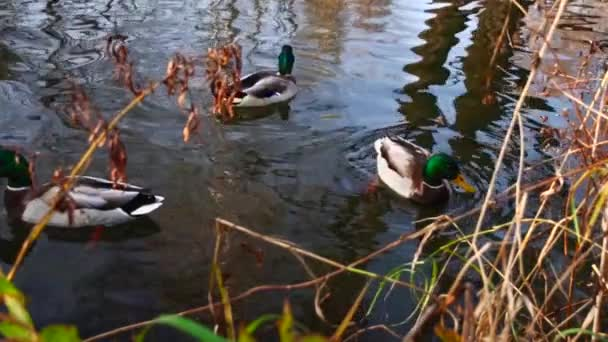 vad kacsák a tavon .slow motion videó