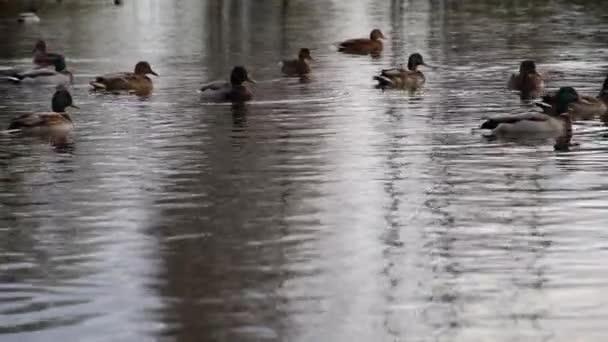 wild ducks on the lake .Wild landscape .