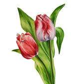 Akvarell tulipán