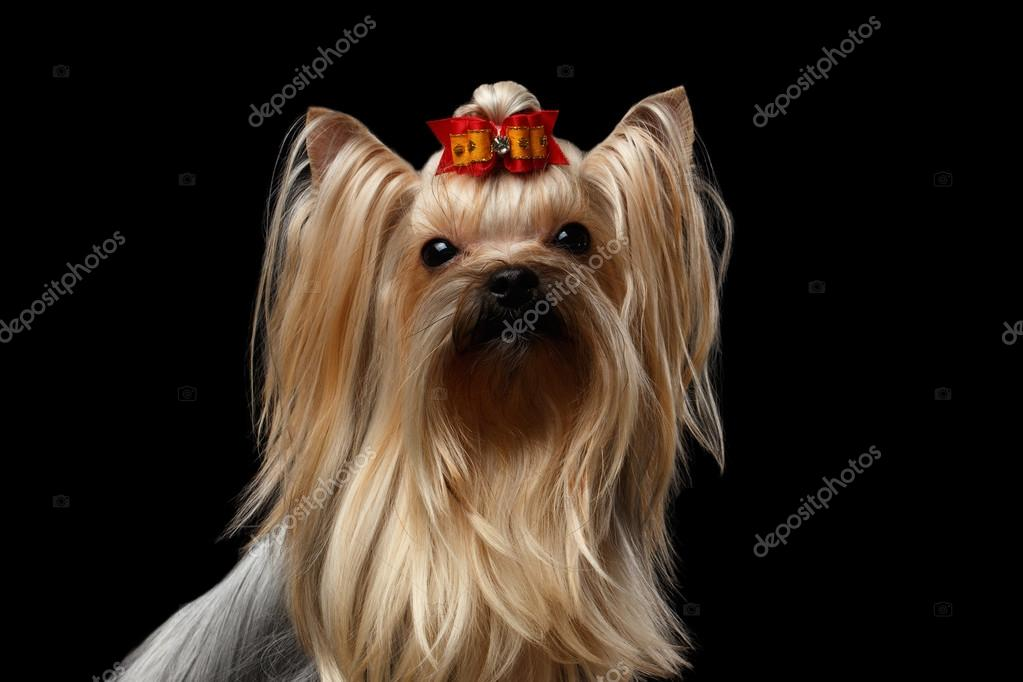 Closeup Portrait Of Mini Yorkshire Terrier Dog With Red Bowisolated