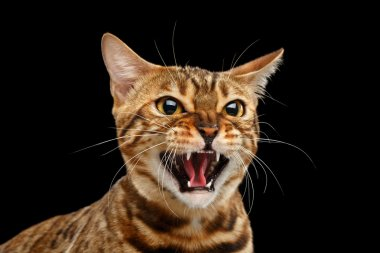 Closeup Portrait Hisses Bengal Cat Face on Isolated Black Background