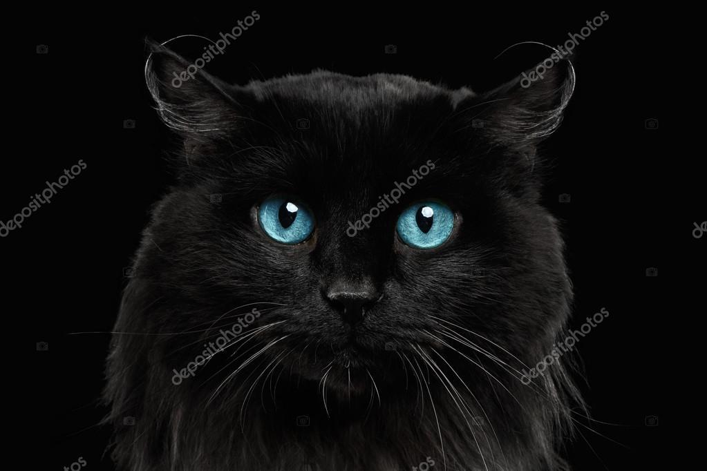 Gros chat noir aux yeux bleus \u2014 Photo