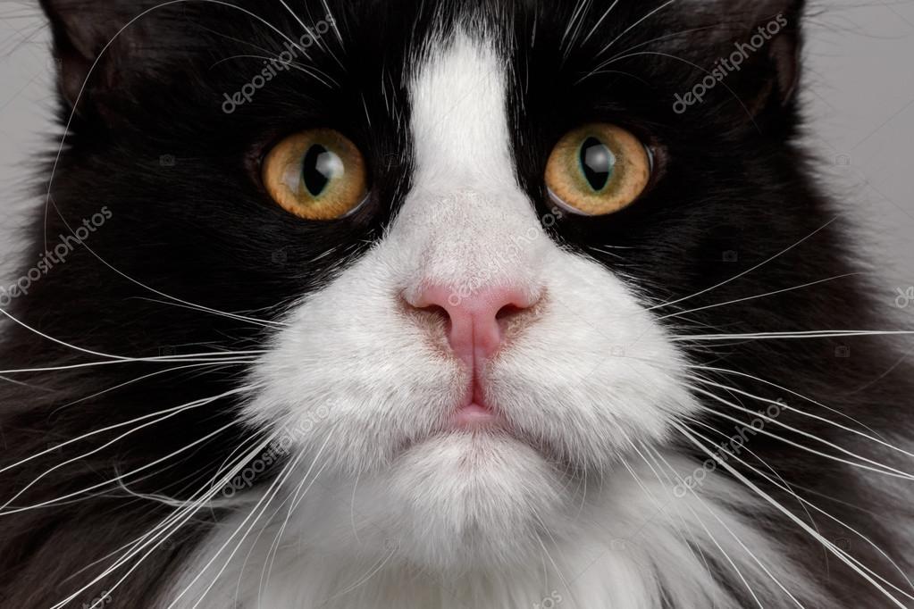 Zbliżenie Czarno Biały Kot Rasy Maine Coon Zdjęcie Stockowe
