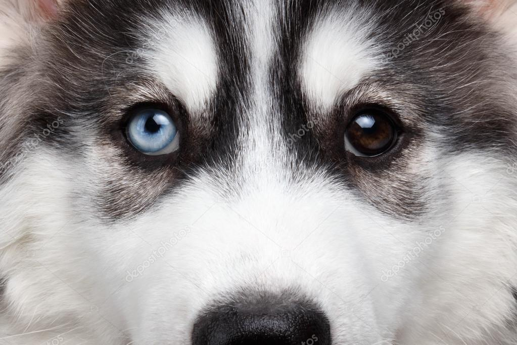 Closeup Siberian Husky Puppy Different Eyes Stock Photo C Seregraf