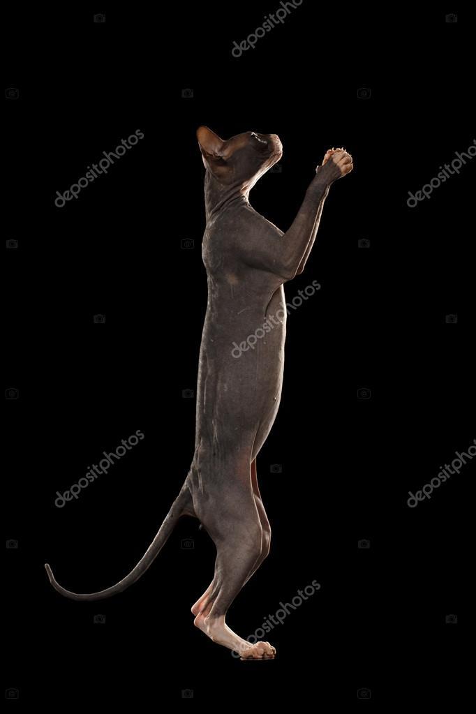 Gato sphynx en trasero piernas llegar a pata, negra — Fotos de Stock ...