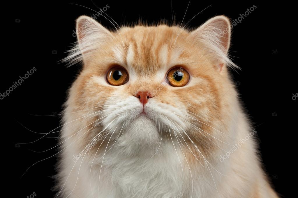 Portret Zbliżenie Czerwony Duży Kot Perski Zły Patrząc Na Czarny