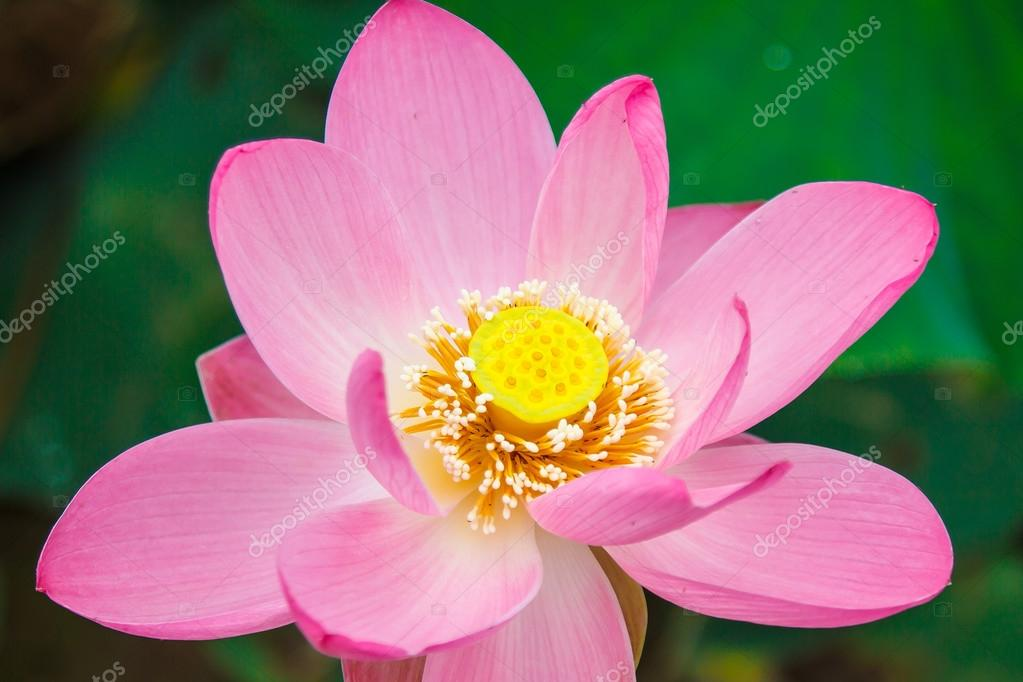Lotus Flower Rare Symbol Of Purity Stock Photo Maestrovideo