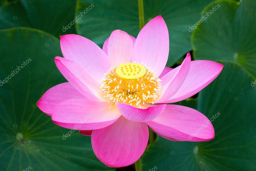 Lotus flower symbol of purity stock photo maestrovideo 105806288 lotus flower symbol of purity symbol of buddhism nelumbo lotus orehonosny species listed in the red book flower asia and orient mightylinksfo Choice Image