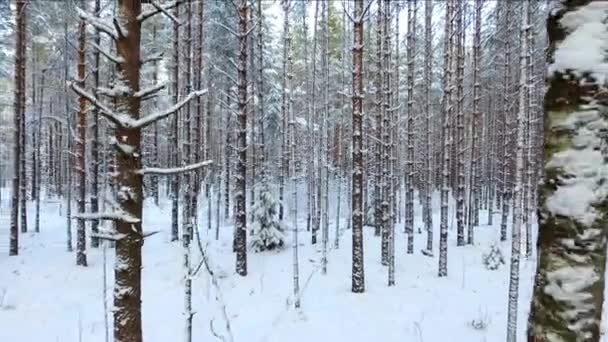 Flying over a pine forest in winter. Snow-covered coniferous trees of the wild Northern forest.