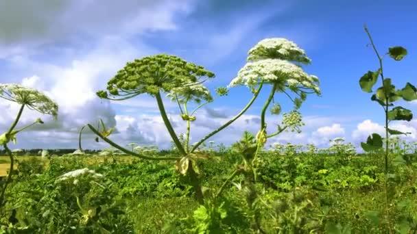 A növény károsítja a növényeket, mérgezést és égést okoz az emberekben. Veszélyes hogweed Heracleum sphondylium a földeken.