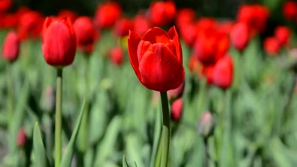 A vörös tulipán virágzik. A bíbor tulipánok mezeje nő.