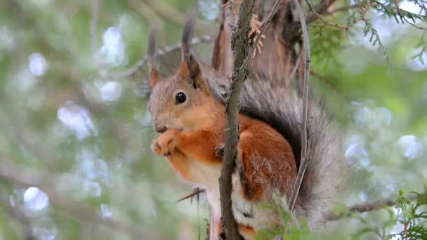 Mókusokat etet a parkban a kezével. Egy kedves vadállat félénk mókus. Vörös hajú fenevad eszik.