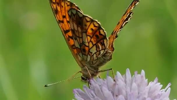 Pillangó a virágmezőn - makró. Pillangók élete Argynis paphia a természetes vadonban.