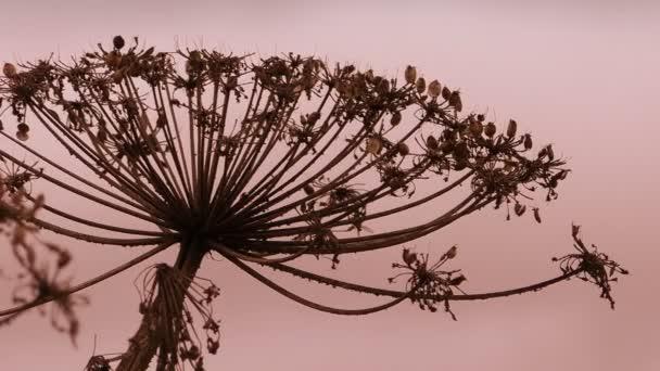 Száraz Hogweed Heracleum sphondylium tehén paszterna nő a mezőkön. A növény esernyő típusa károsítja a növényeket, mérgezést és égést okoz az emberekben..