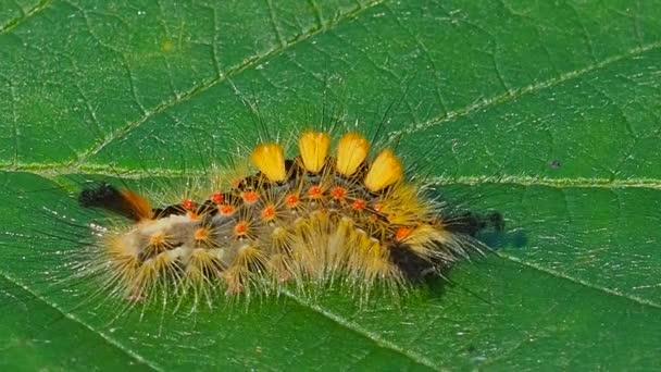 Farbige pelzige Raupe auf dem Blatt im Gras. Die Larve von Insekten im Wald. Tiere Insekten Sommer Natur - ein Zeichen für gute Ökologie.