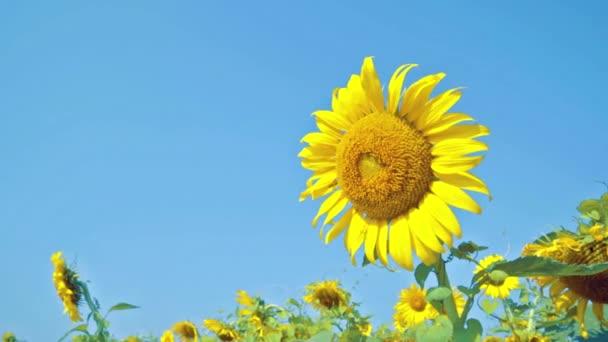 Včela, sání, hledají nektar, med od pylu velké slunečnice, prostor pro text