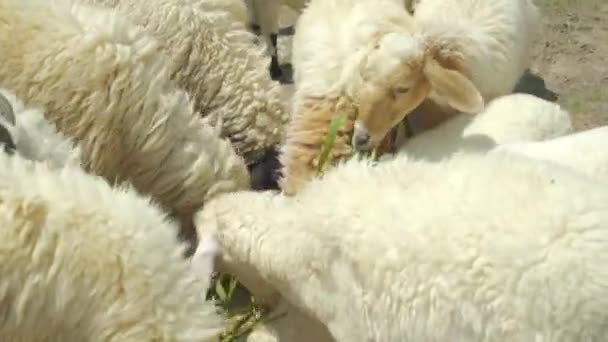 Schafe, die sich köstlich mit Gras ernähren