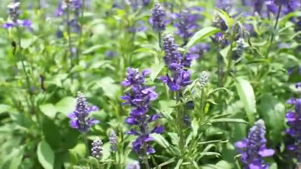 blue salvia purple flowers, mint family plant